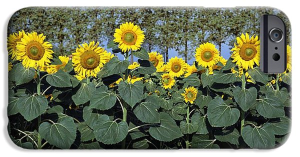 Tuscan Landscapes iPhone Cases - Sunflowers iPhone Case by Axiom Photographic