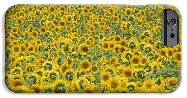 Buttonwood Farm iPhone Cases - Sunflowers iPhone Case by Ron Smith
