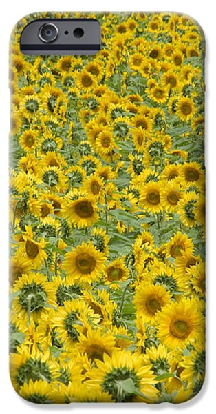 Sunflowers iPhone Case by Ron Smith