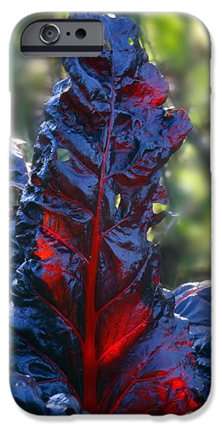 Swiss Chard iPhone Cases - Swiss Chard (beta bulls Blood) iPhone Case by Dr Keith Wheeler
