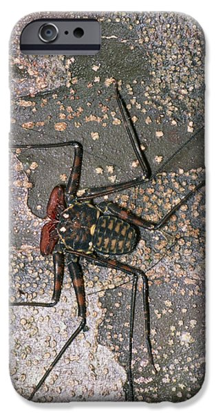 Arachnida iPhone Cases - Tailless Whip Scorpion iPhone Case by Dr George Beccaloni
