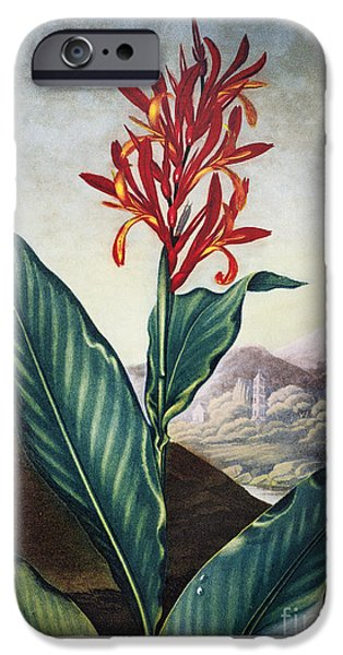 Canna iPhone Cases - Thornton: Indian Reed iPhone Case by Granger