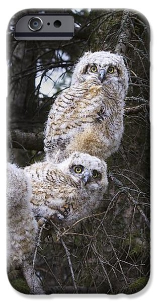 Three Great Horned Owl Bubo Virginianus iPhone Case by Richard Wear