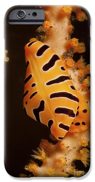 The Tiger iPhone Cases - Tiger Cowrie On Yellow Sea Fan, Bali iPhone Case by Mathieu Meur