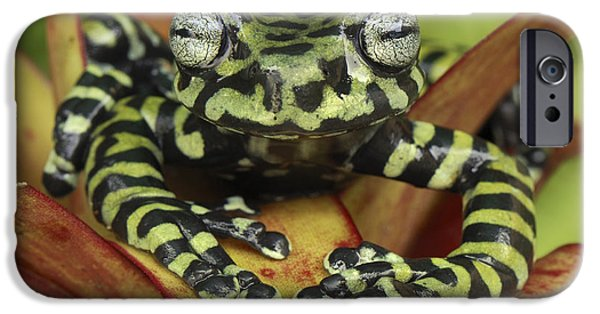 New Individuals iPhone Cases - Tigers Treefrog Hyloscirtus Tigrinus iPhone Case by Thomas Marent