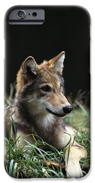 Wolf Image iPhone Cases - Timber Wolf Canis Lupus Portrait iPhone Case by Gerry Ellis