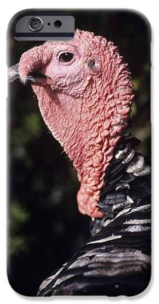 Meleagris Gallopavo iPhone Cases - Turkey Cock iPhone Case by David Aubrey