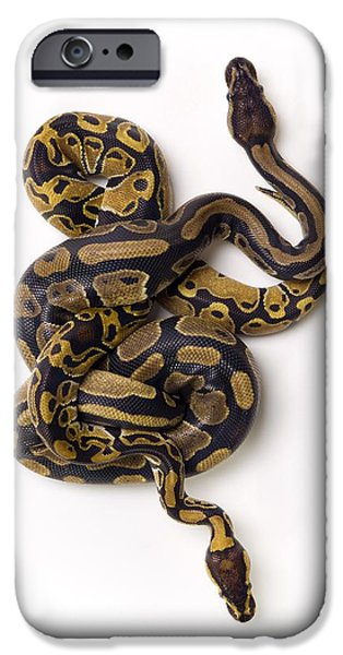 Serpent iPhone Cases - Two Ball Python Snakes Intertwined iPhone Case by Corey Hochachka