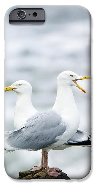 Herring Gull iPhone Cases - Two Herring Gulls iPhone Case by Duncan Shaw
