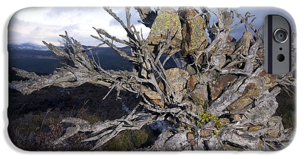 Tree Roots iPhone Cases - Uprooted Scots Pine Tree iPhone Case by Duncan Shaw