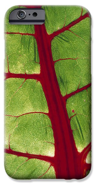 Swiss Chard iPhone Cases - Veins In Chard Leaf iPhone Case by David Nunuk