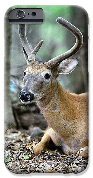 Velvet Buck at rest  iPhone Case by Paul Ward