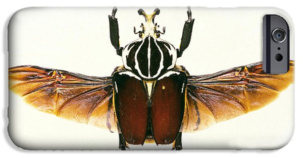 Goliath iPhone Cases - View Of A Goliath Beetle, Goliathus Sp. iPhone Case by Sinclair Stammers