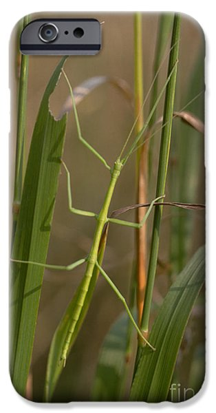 Walking Stick Insect iPhone Case by Ted Kinsman