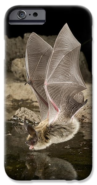 State Parks In Oregon iPhone Cases - Western Long-eared Myotis Drinking iPhone Case by Michael Durham