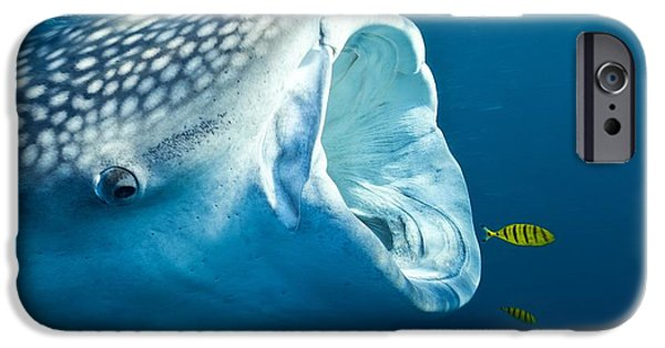 Fauna iPhone Cases - Whale Shark iPhone Case by Alexis Rosenfeld