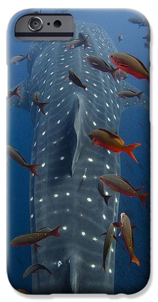 Wolf Image iPhone Cases - Whale Shark Rhincodon Typus Swimming iPhone Case by Pete Oxford