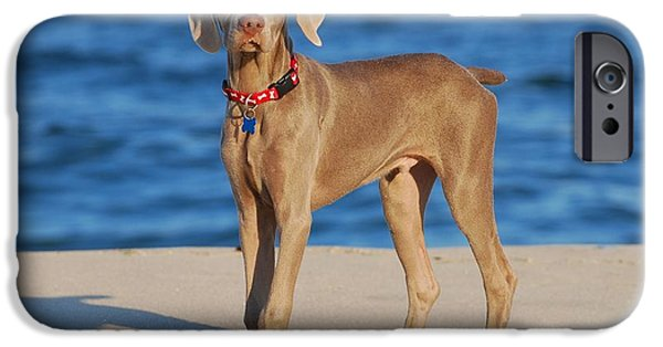 Weimaraners iPhone Cases - What - Weimaraner Puppy iPhone Case by Angie Tirado