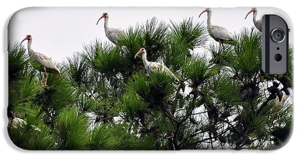 Roosting iPhone Cases - White Ibises Roosting iPhone Case by Al Powell Photography USA