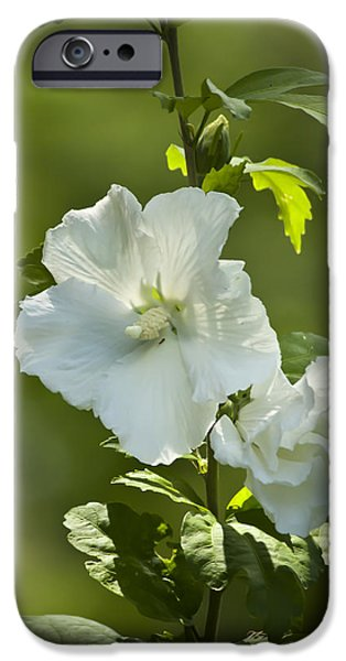 Althea iPhone Cases - White Rose of Sharon iPhone Case by Teresa Mucha