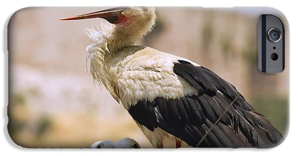 Young Turkey iPhone Cases - White Stork Ciconia Ciconia, Turkey iPhone Case by Carson Ganci