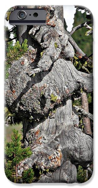 Survivor Art iPhone Cases - Whitebark Pine Tree - Iconic Endangered Keystone Species iPhone Case by Christine Till