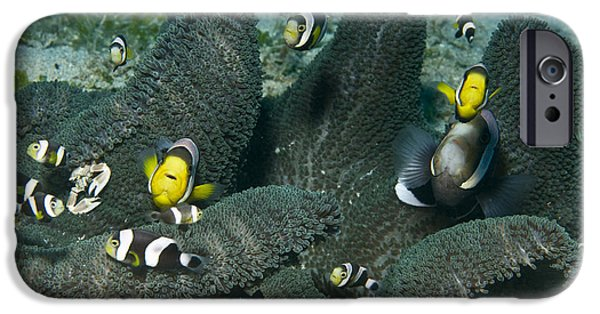 Amphiprion Clarkii iPhone Cases - Whole Family Of Clownfish In Dark Grey iPhone Case by Mathieu Meur