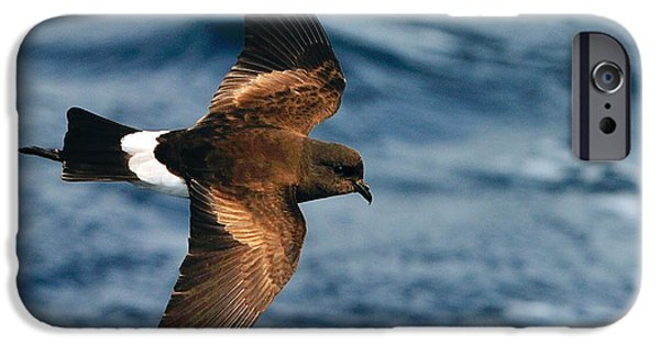 Sea Birds iPhone Cases - Wilsons Storm-Petrel iPhone Case by Tony Beck