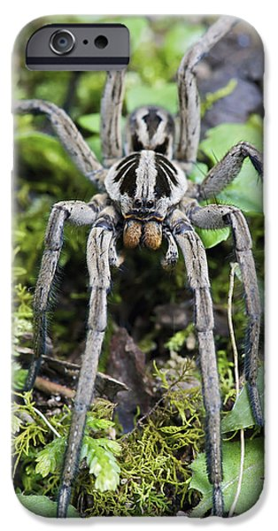 Wolf Image iPhone Cases - Wolf Spider Hogna Sp Male, Mindo iPhone Case by James Christensen