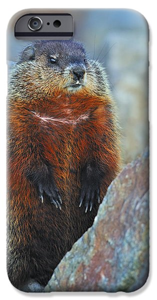 Groundhog iPhone Cases - Woodchuck iPhone Case by Tony Beck