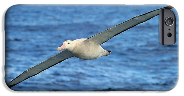 Albatross iPhone Cases - Worlds Longest Wingspan iPhone Case by Tony Beck