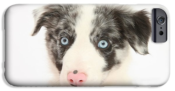 Dog Close-up iPhone Cases - Yawning Border Collie Pup iPhone Case by Mark Taylor