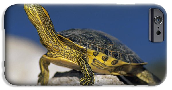 Slider Photographs iPhone Cases - Yellow-bellied Slider Trachemys Scripta iPhone Case by Tim Fitzharris