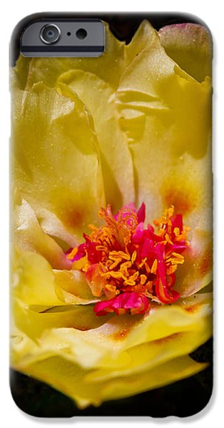 Yellow Portulaca iPhone Case by Mitch Shindelbower
