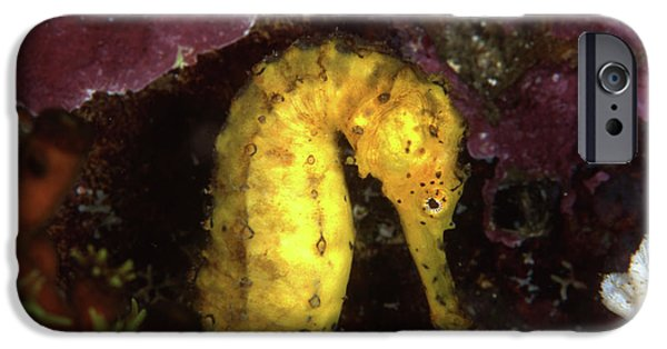 The Tiger iPhone Cases - Yellow Tiger Tail Seahorse, Thailand iPhone Case by Beverly Factor