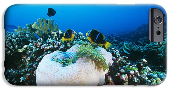 Amphiprion Clarkii iPhone Cases - Yellowtail Anemonefish By Their Anemone iPhone Case by Alexis Rosenfeld