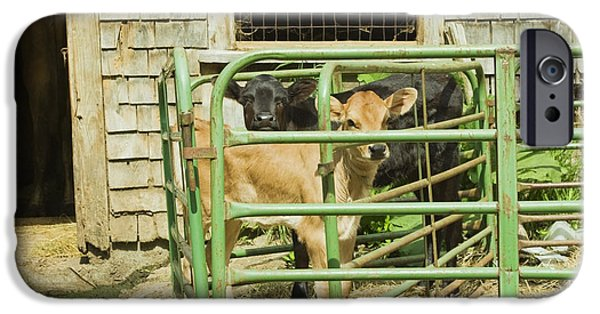 Maine Barns iPhone Cases - Young Calf In Fence Pen Near Barn Summer Maine iPhone Case by Keith Webber Jr