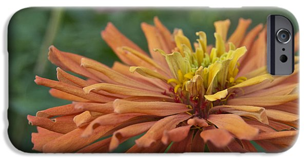 Zinnias iPhone Cases - Zinnia up close 2823 iPhone Case by Michael Peychich