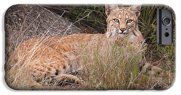 Bobcats Photographs iPhone Cases -  Bobcat at Rest iPhone Case by Alan Toepfer