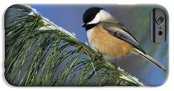 Wildlife Celebration iPhone Cases - Black-Capped Chickadee iPhone Case by Tony Beck