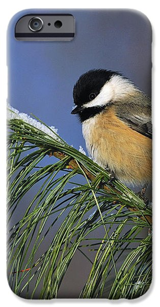 Black-Capped Chickadee iPhone Case by Tony Beck