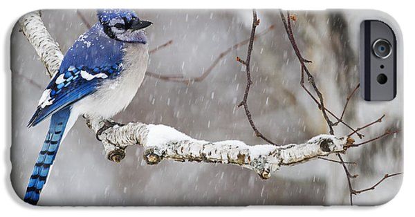 World No. 1 iPhone Cases - Blue Jay  Cyanocitta Cristata Perched iPhone Case by Philippe Henry