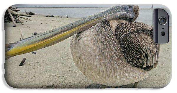 Sea Birds iPhone Cases - Brown Pelican  iPhone Case by Dustin K Ryan