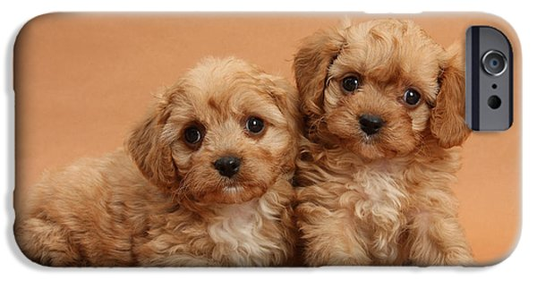 House Pet iPhone Cases - Cavapoo Pups iPhone Case by Mark Taylor