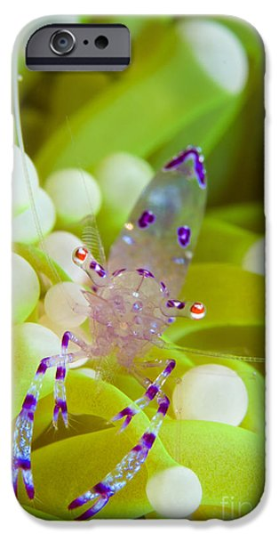 Commensal Shrimp On Green Anemone iPhone Case by Steve Jones