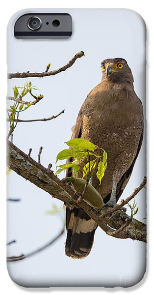 Serpent iPhone Cases - Crested Serpent Eagle, India iPhone Case by B. G. Thomson