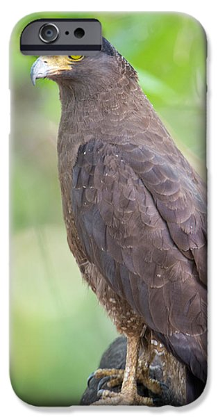 Serpent iPhone Cases - Crested Serpent Eagle Spilornis Cheela iPhone Case by Panoramic Images