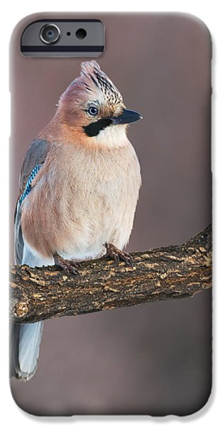Crows iPhone Cases - Eurasian jay iPhone Case by Sergey Ryzhkov