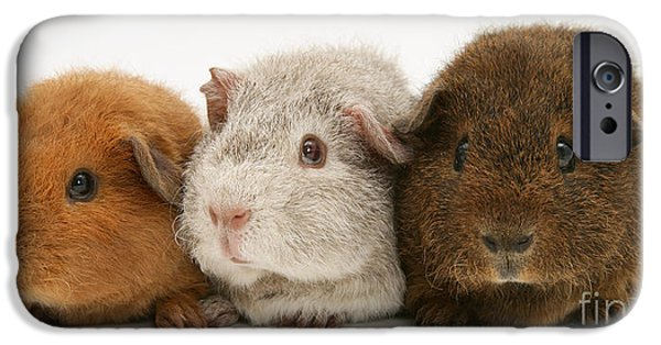 Domesticated Animals iPhone Cases - Guinea Pigs iPhone Case by Jane Burton