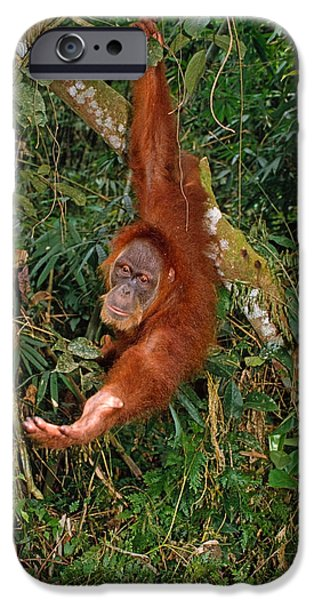 Orangutan iPhone Cases - Looking for a Handout iPhone Case by Michele Burgess